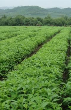 白鲜皮种子培育基地